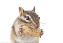 ピーナッツを食べるシマリス