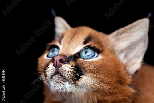 Foto auf Leinwand Luchs Caracal baby on black background