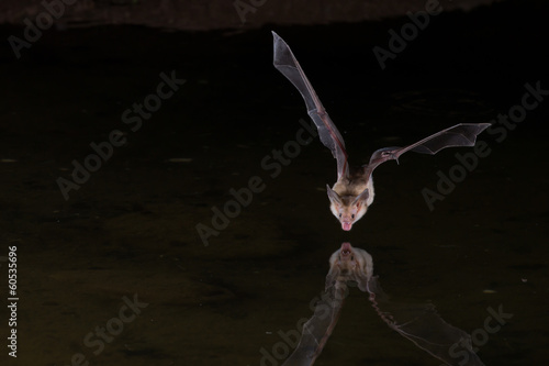 Fotografie, Obraz  Night Flash Image of Bat drinking water