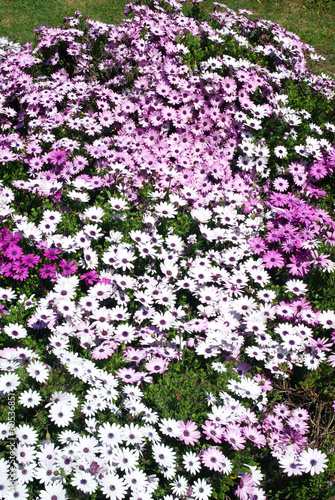 Papiers peints Marguerites Flowerbed of daisies