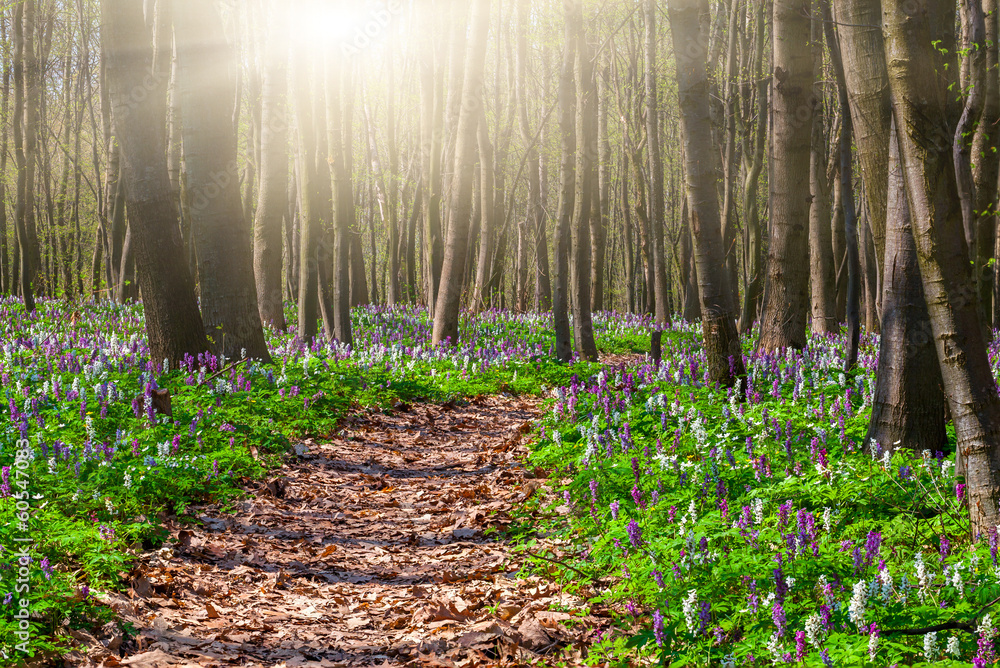 Fototapeta Blooming fields of flowers in spring forest