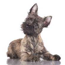 Adorable Cairn Terrier Puppy
