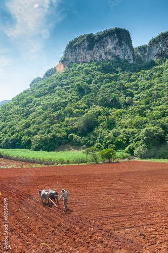 Photo  VINALES, CUBA Cuban farmer plows his field