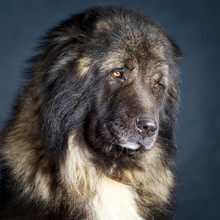 Grey Caucasian Shepherd Dog