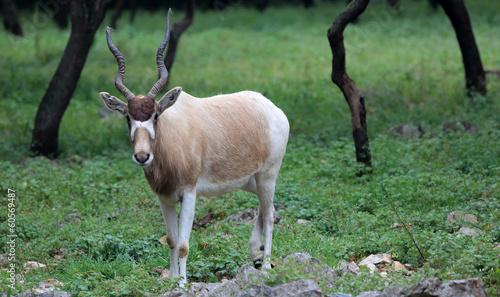 Addax, White Antelope (Addax nasomaculatus)