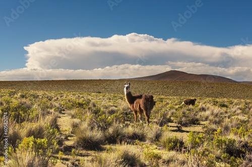 Cadres-photo bureau Amérique du Sud Llama in Bolivia