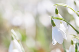 snowdrop flower in nature with dew drops