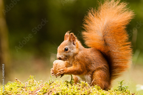Spoed Foto op Canvas Eekhoorn Squirrel with nut
