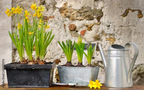 Photo sur Toile Narcisse pots de narcisses et jacinthes