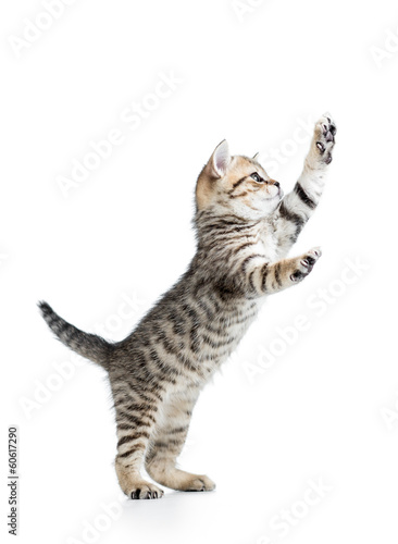 funny playful cat is standing Canvas Print