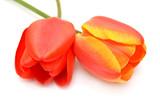 Dwa tulipany na białym tle