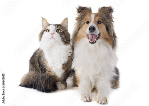 Naklejki psy  shetland-dog-and-maine-coon-cat