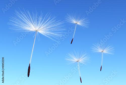 Florets of dandelion