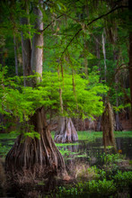 Cypress Tree In The Swamp