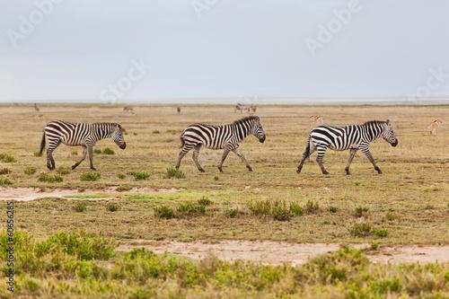 Fototapety, obrazy: Zebras herd on African savanna