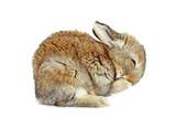 Fototapeta Zwierzęta - Młody królik domowy