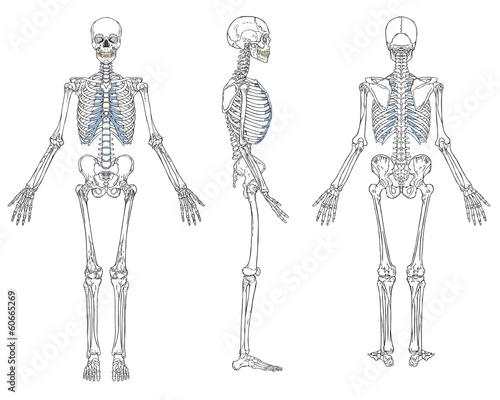 Fotografía  Human Skeleton Anatomy Vector