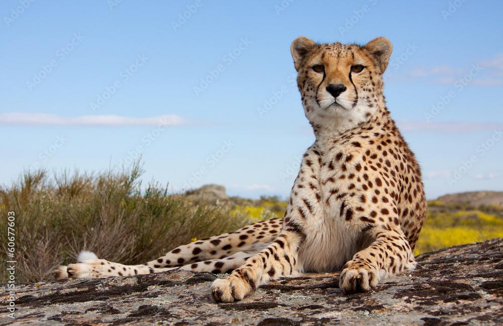 Fototapeta liegender Gepard