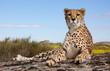 canvas print picture - liegender Gepard