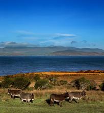 Donkeys Graze On A Field In County Kerry, Ireland