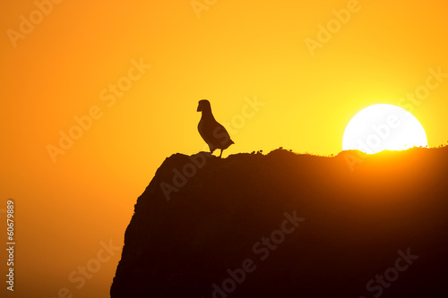Garden Poster Brown Atlantic puffin enjoys sunset in Fair Isle, Shetland.