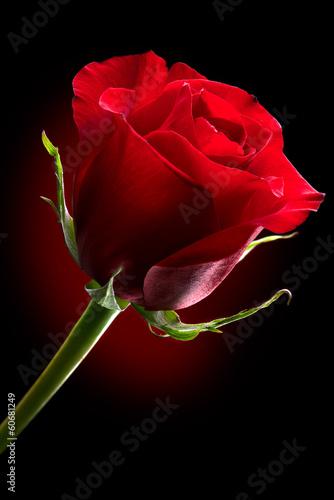 czerwona-roza-kwiat-na-bialym-tle-na-czarnym-tle