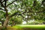 Fototapeta Sawanna - Savannah Oaks
