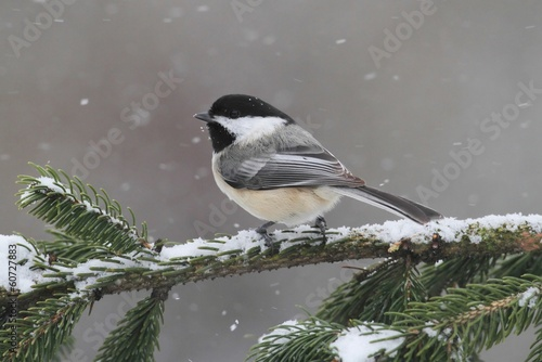 Aufkleber - Chickadee on a branch with snow