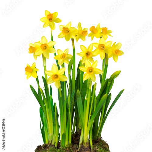 Deurstickers Narcis Osterglocken vor weißem Hintergrund