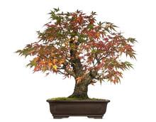 Acer Japonicum Bonsai Tree, Is...