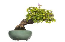 Bougainvillea Bonsai Tree, Iso...