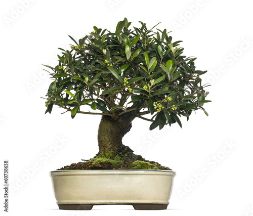 Foto op Canvas Bonsai Olive bonsai tree, Olea europaea, isolated on white
