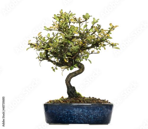 Poster Bonsai Honeysuckle bonsai tree, Lonicera caprifolium, isolated on white