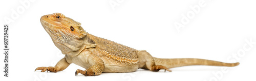 Photo Bearded Dragon, Pogona vitticeps, isolated on white