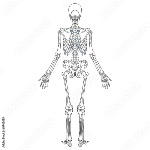 Human Skeleton Back - Buy this stock vector and explore similar ...