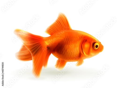 Fototapeta Goldfish, photorealistic vector illustration
