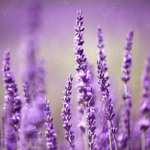 Photo  Lavender flower