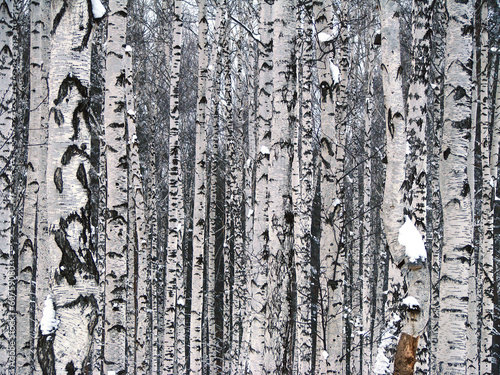 Birchwood Canvas Print