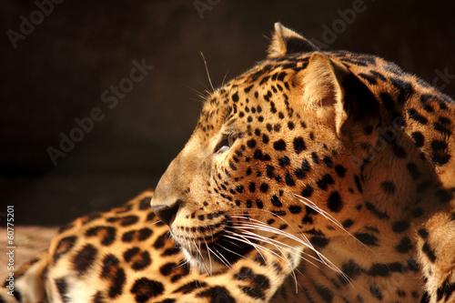 Obrazy na płótnie Canvas leopard panther looking on tree