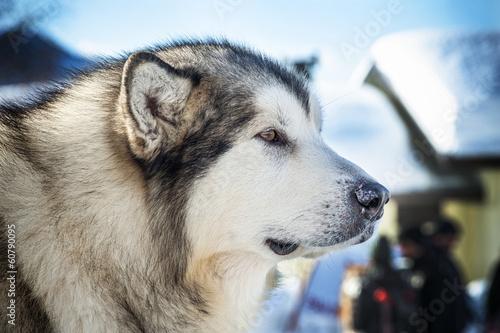 Fotografija  Alaskan Malamute