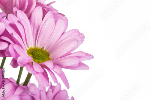 Fototapeta pink chrysanthemum  flower obraz na płótnie