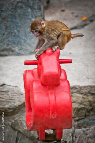 Fotografie, Obraz  Macaca mulatta known as rhesus macaque or rhesus money