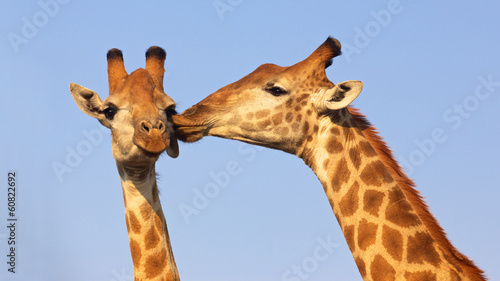 Kissing Giraffes Wallpaper Mural