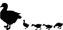 Newborn Gosling And Goose Silhouettes On White