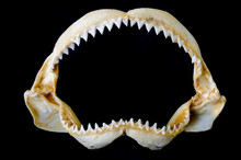 Shark Jaw Bone And Sharp Shark...