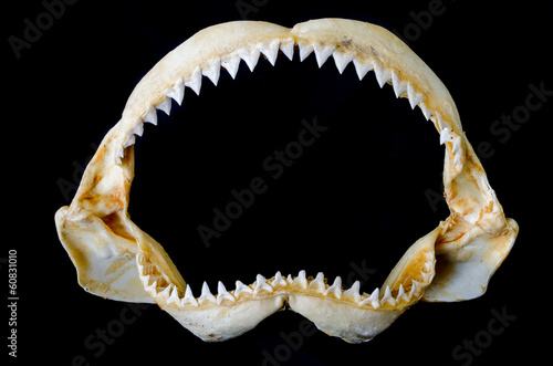 Shark Jaw Bone and sharp shark teeth