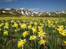 Mountain Daffodils