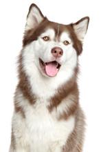 Siberian Husky Portrait, Isolated