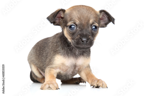 Deurstickers Franse bulldog Chihuahua and toy terrier mixed-breed puppy