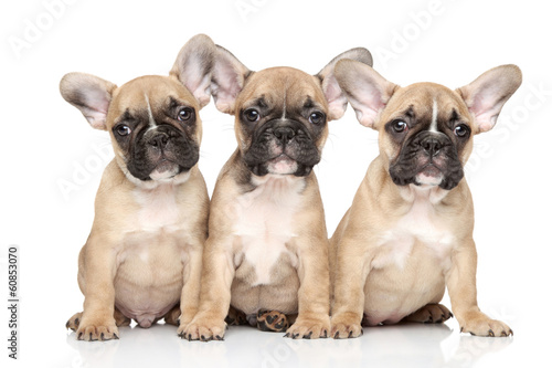 Foto op Plexiglas Franse bulldog French bulldog puppies